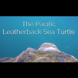 The Pacific Leatherback Sea Turtle