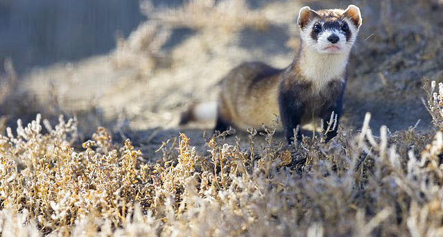 Ferret Town - wild black footed ferret - USFWS