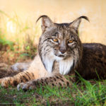 Saliega's Lineage - The Return of the Iberian Lynx