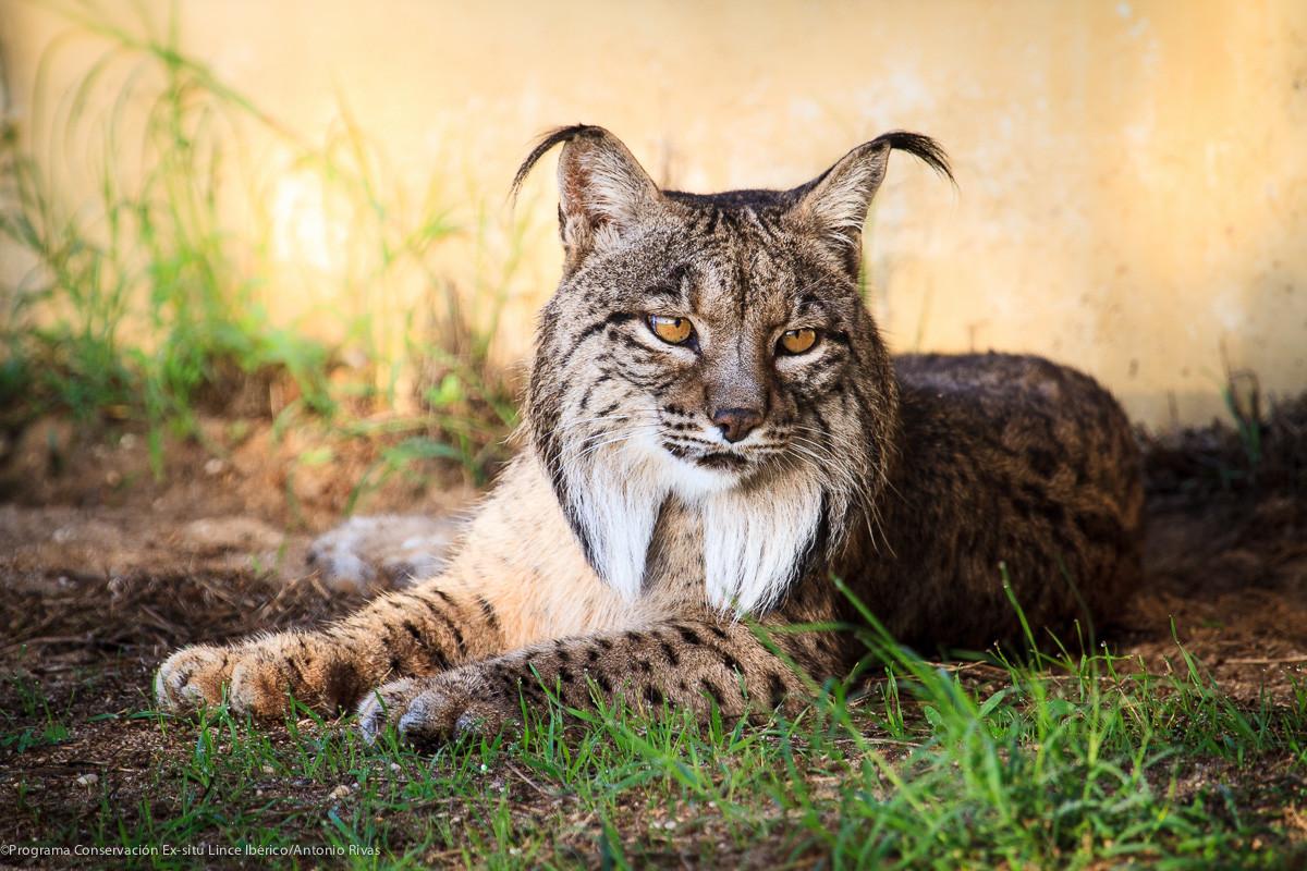 Saliega's Lineage - The Return of the Iberian Lynx