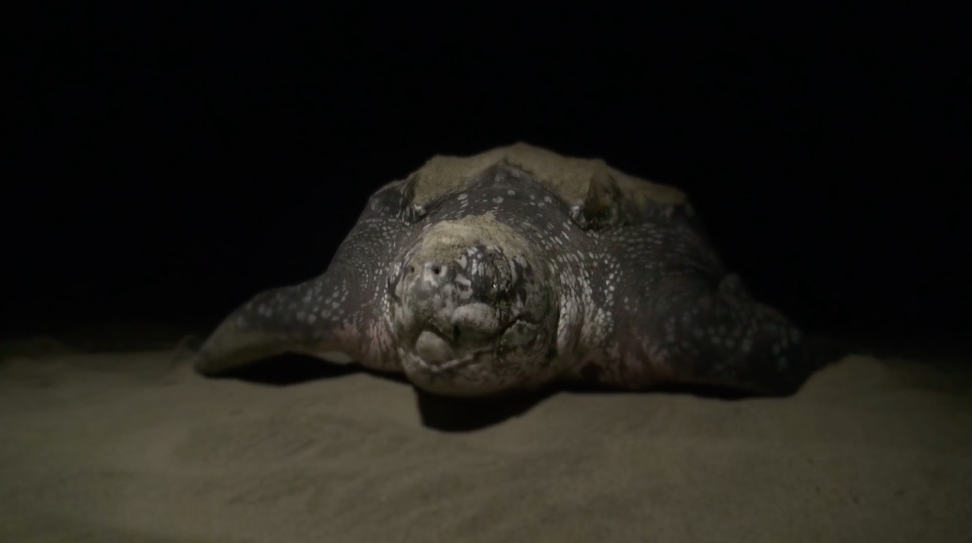 Conservation Challenge: Saving Papua's Leatherback Turtles