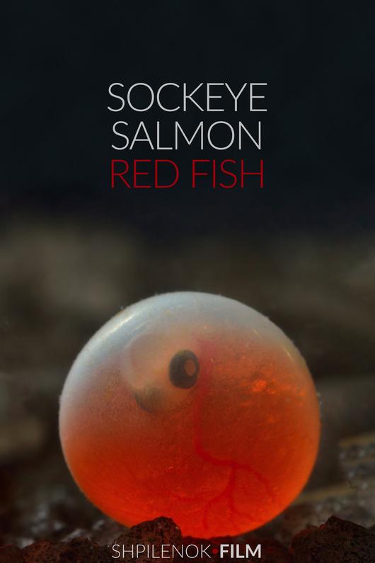 Sockeye Salmon.RedFish-poster